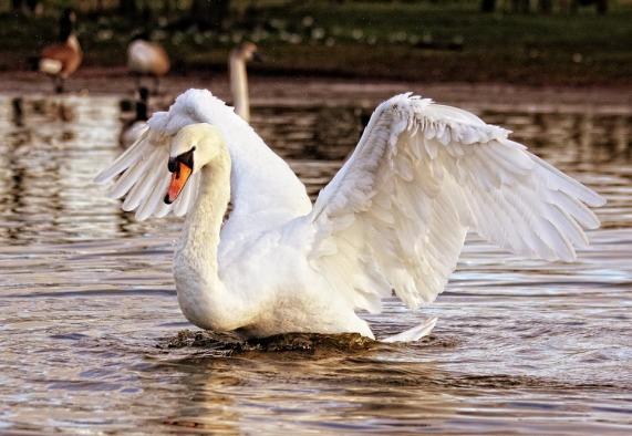 swan-839598_960_720